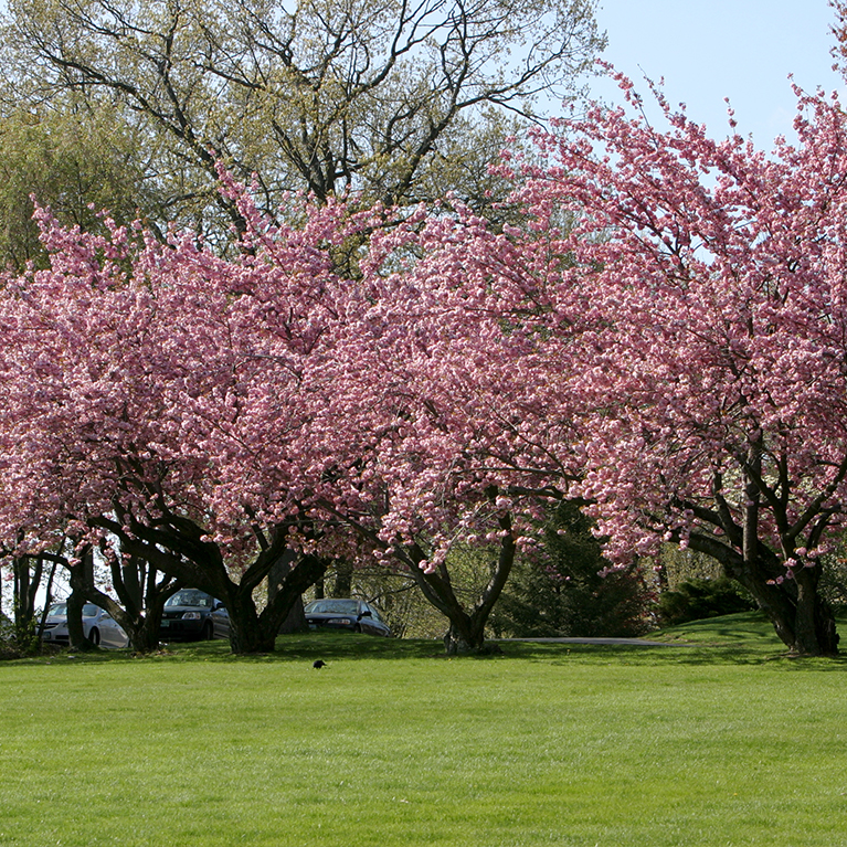 An overview shot of Cherry Blossom trees at Chase Collegiate school.